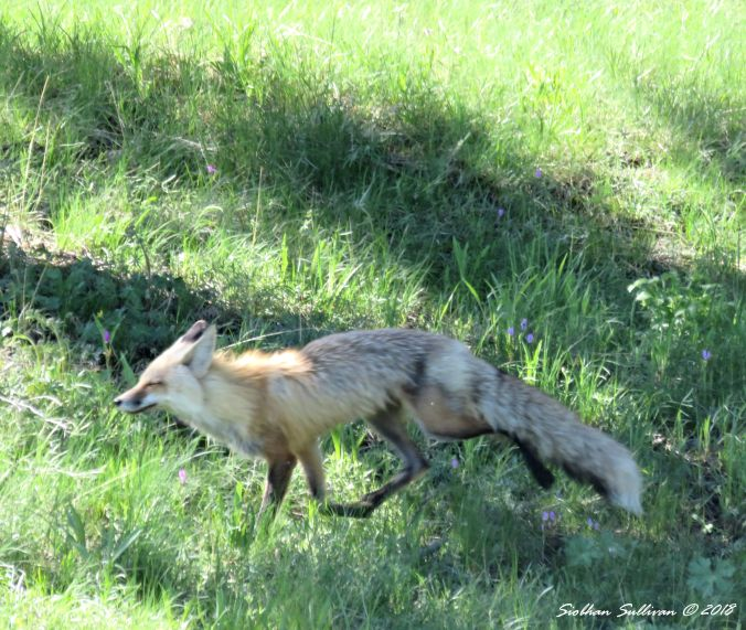 Red fox, Yellowstone National Park 1June2018