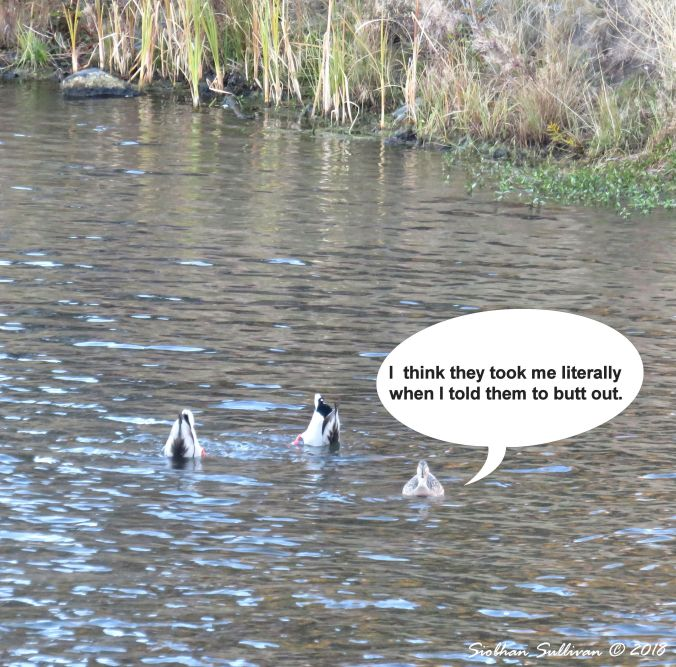 Fun photos: Three mallards in the Deschutes River, Bend, Oregon October 2018