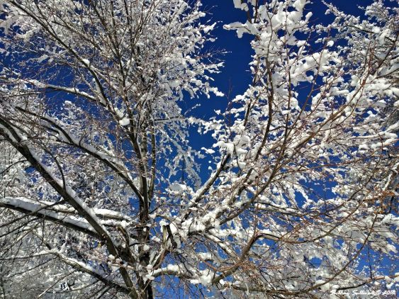 Branches in a new light , Bend, Oregon 14January2017