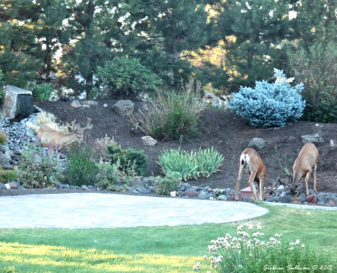 Making a splash, Mule deer drinking from my water feature, Bend, Oregon 15July2017