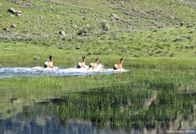 Yellowstone Hidden & Revealed Elk 1June2018