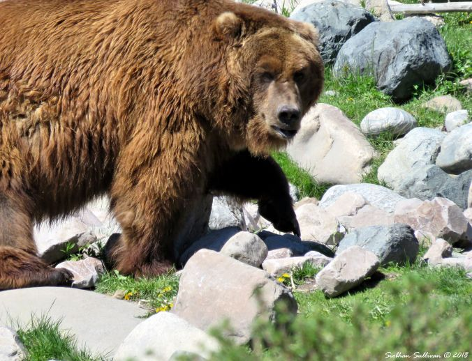 Yellowstone Hidden & Revealed Grizzly Bear 1June2018