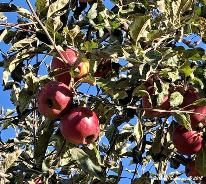 Seasons Apple trees 20September2018