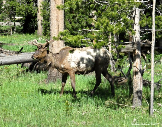 Elk in shadow, Wyoming 2June2018