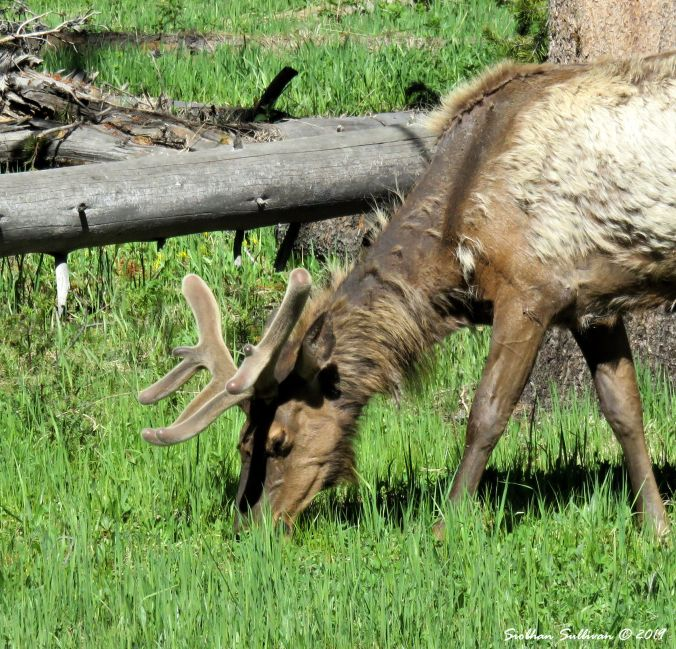 Close up of elk in velvet, Wyoming 2June2018