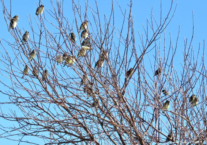 Waxwings in Winter Willows, Bend, OR 8March2019