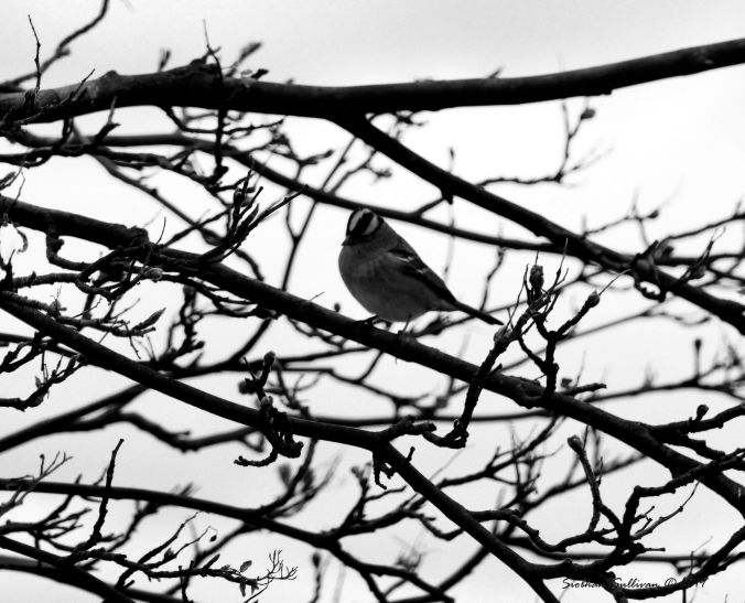 White-Crowned Sparrow 2BW 14April2019