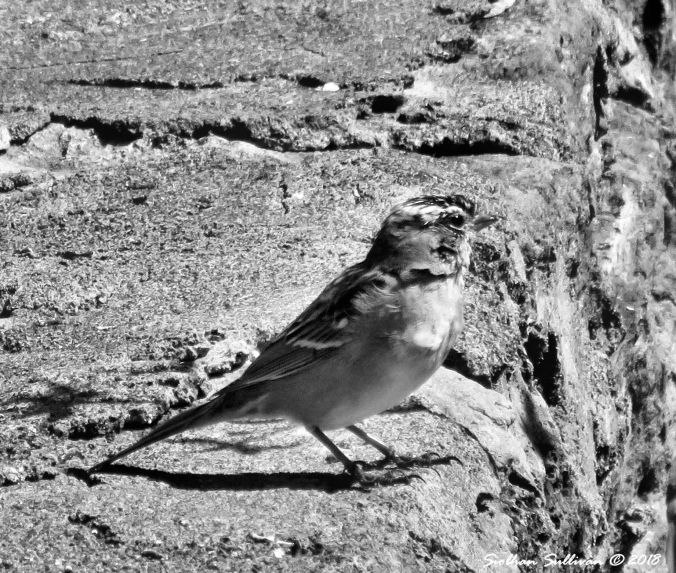 White-Crowned Sparrow BW 17April2018