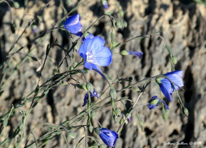 Delicate-Beauties-Blue flax 24May2019