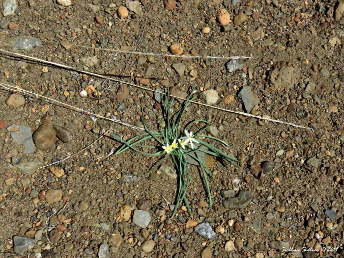 Sand lily - High desert star 15May2019