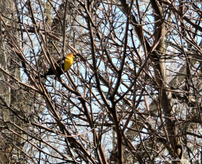 Harmony in Nature Yellow-headed blackbird 5April2018