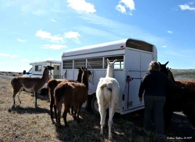 Pack llamas getting ready to head out 13April2019