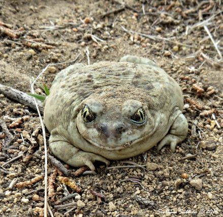 Unique sights Great Basin Spadefoot Toad 4May2018