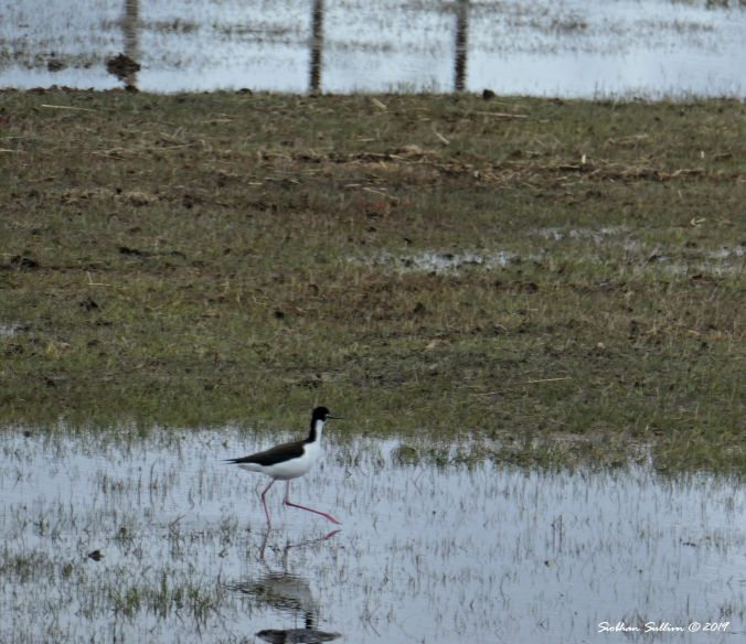Black-necked stilt, Harney County, Oregon 12April2019