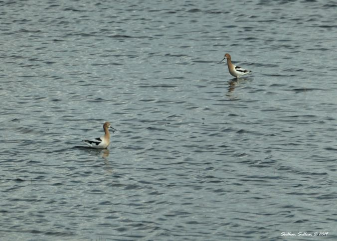 American avocet, Harney County, Oregon 12April2019