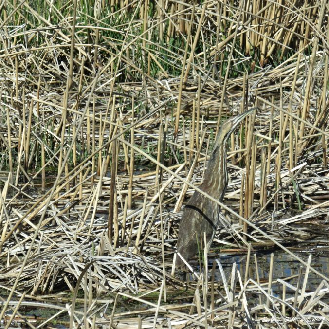 Birds of the shore, American bittern, Harney County, Oregon 8April2016