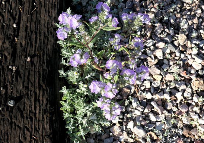 Phacelia flowers in Bend, Oregon 24June2019