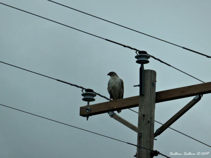 Ferruginous hawk, Harney County, Oregon 13April2019