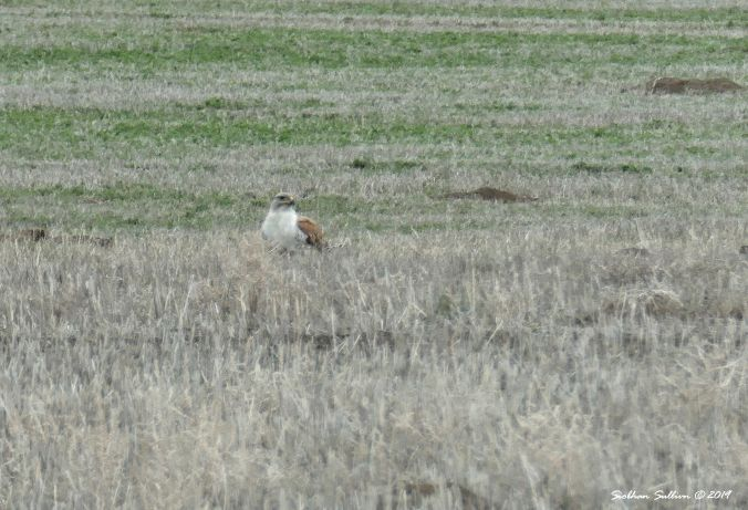 Swainson's hawk grabbing some fast food, Harney County, OR 13April2019
