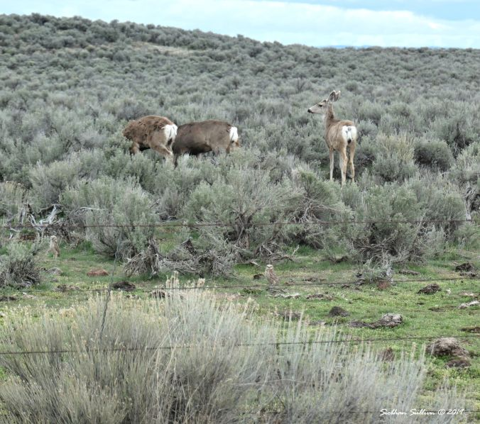 Three mule deer in the back ground & two burrowing owls in the foreground, Harney County, OR 13April2019