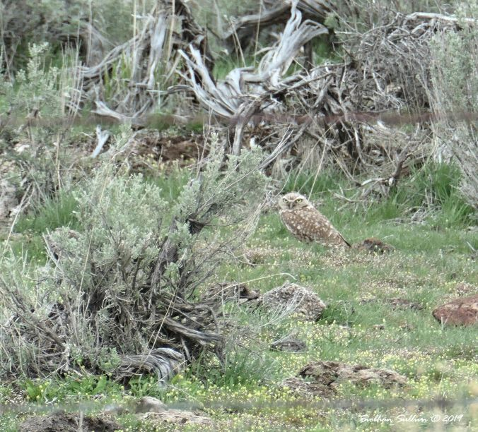 Raptors, Burrowing owl, Harney County, OR 13April2019