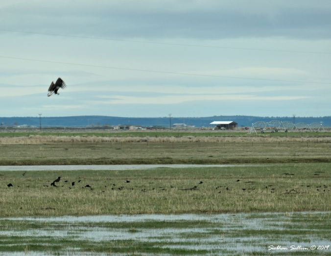Bald eagles in Harney County, Oregon 13April2019
