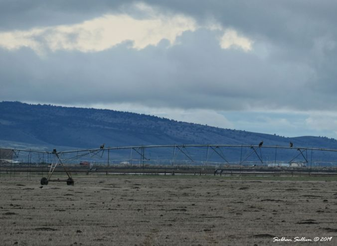 Raptors, Bald eagles perched on pivot irrigation system, Harney County, OR 13April2019