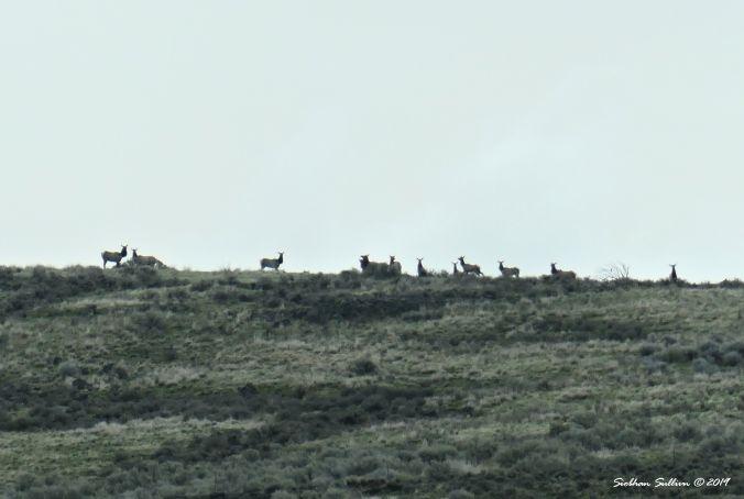 Rocky Mountain Elk, Harney County, Oregon 13April2019
