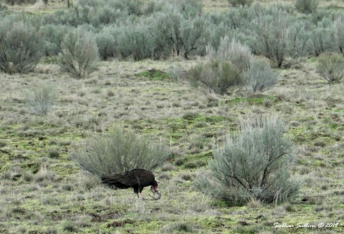 Turkey vulture eating ground squirrel, Harney County, OR 13April2019