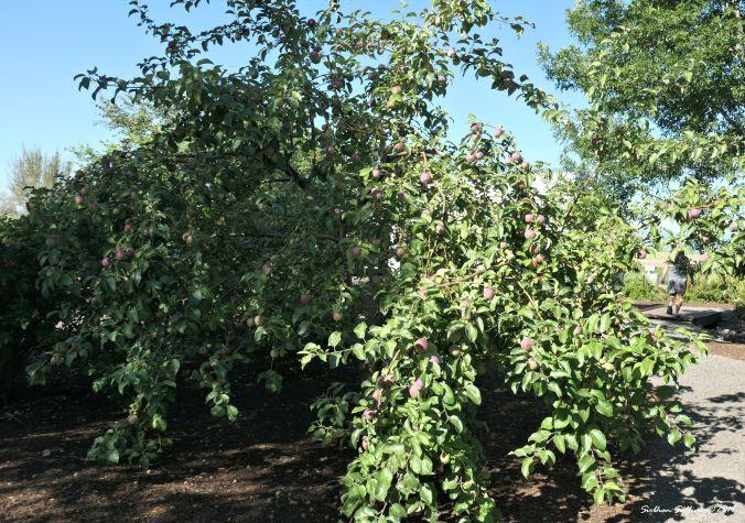 Old, new, borrowed, blue Honeycrisp apple, Madras Oregon 20July2019