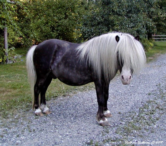 Mellow fellow is a photograph of a miniature horse
