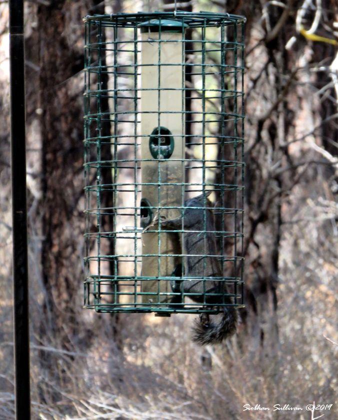 One smart squirrel, High Desert Museum, Oregon