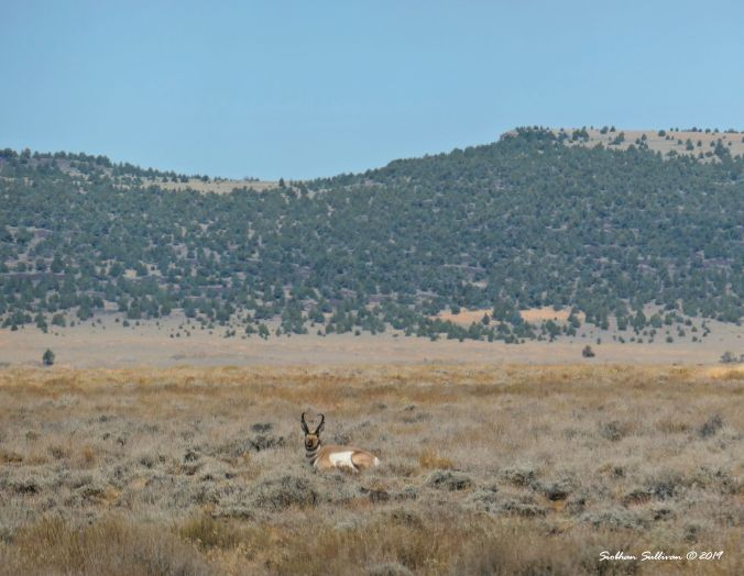 Pronghorn buck, Hart Mountain