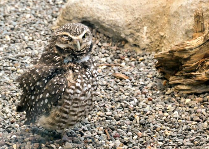 Candids of critters. Burrowing owl blinking. Oregon