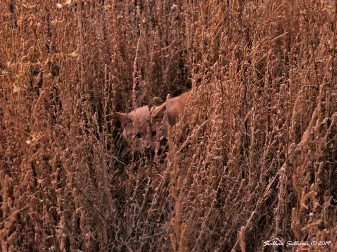 Orange tabby hiding in the weeds Bend, Oregon