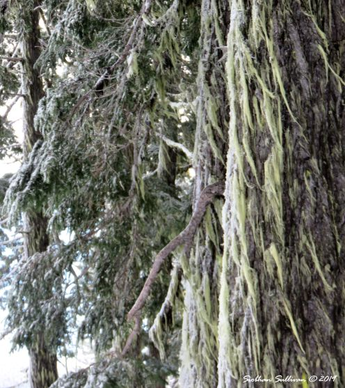 With two you can brave the elements. Moss-covered hemlocks at Mt Bachelor, Oregon 2016
