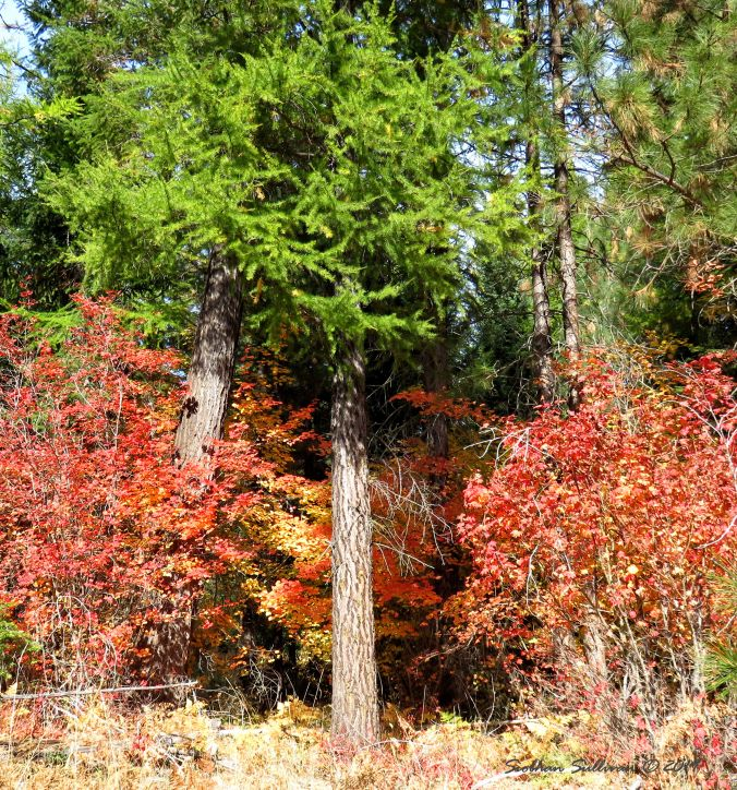 Bright bouquets of foliage near Sisters, Oregon October 2015