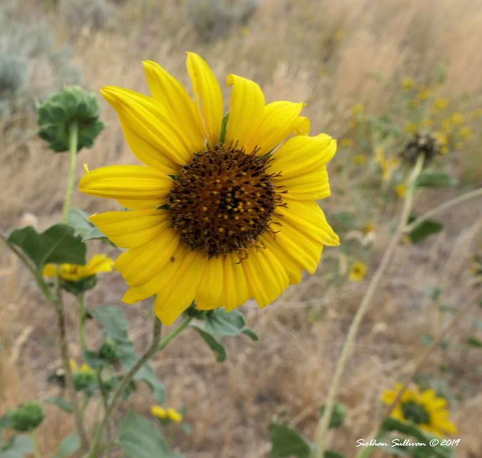 Common sunflowers at Steens Mountain, Oregon August 2019