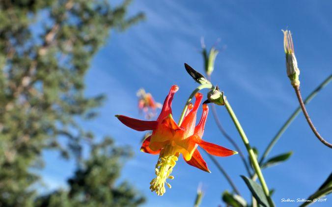 A fiery western columbine flower in Bend, Oregon June2019