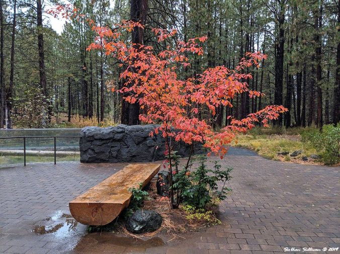 Log bench shaded by tree at High Desert Museum, Bend Oregon October 2019