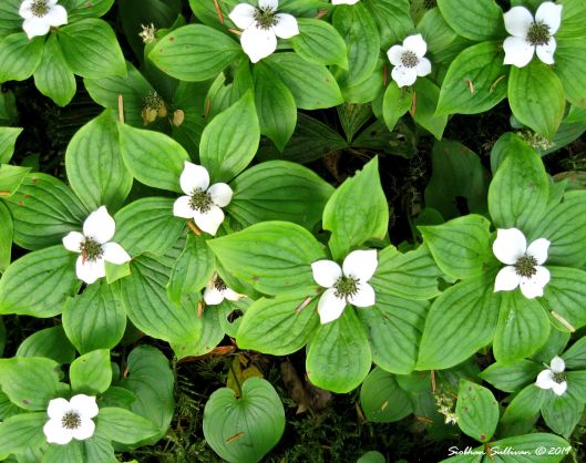 Bunchberry dogwood in bloom, Washington July 2011