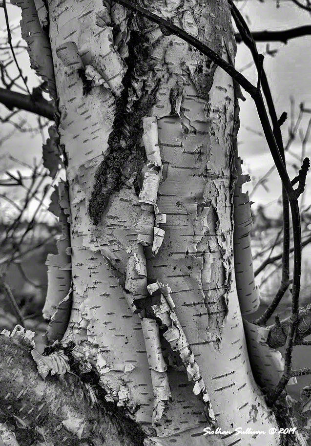 paper birch up close, Bend, Oregon 14February2020