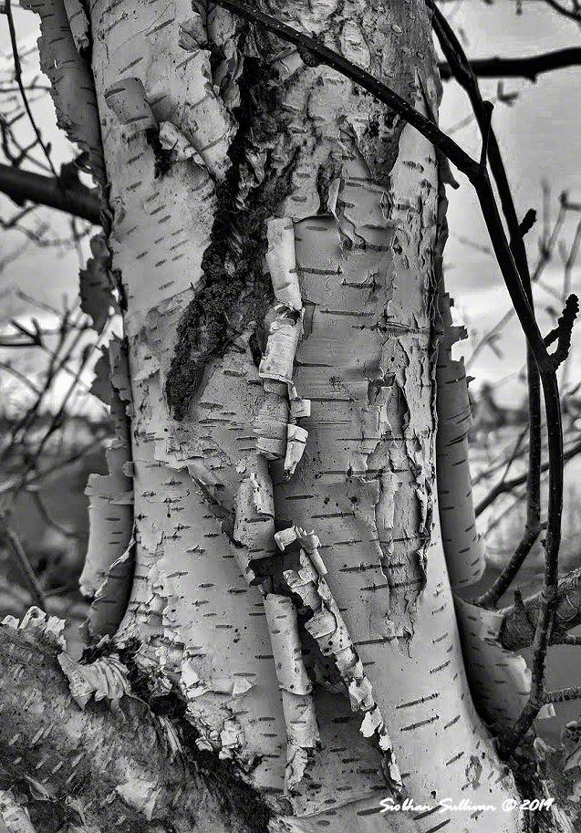 paper birch up close, Bend, Oregon 14February2020