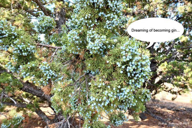 Western juniper tree burdened with cones (berries) August 2019