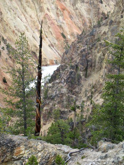 Pine trees along Yellowstone River, Wyoming 13 June 2011