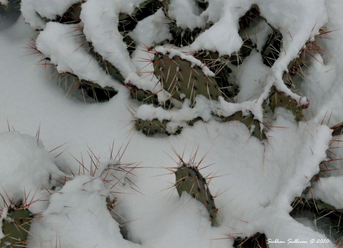 Cactus in the snow Bend, Oregon 15 March 2020