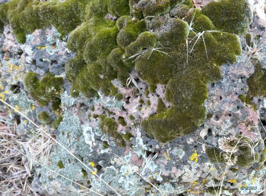 Lichens and moss on rocks, Bend Oregon 5 April 2020