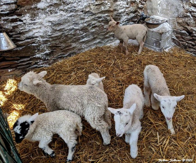 Lambs and Haiku 4March2020