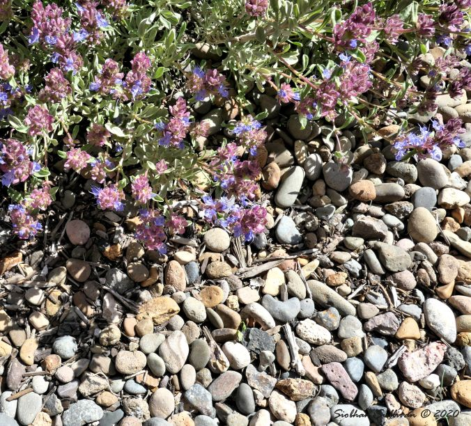 Purple sage in bloom. Bend, Oregon May 2020