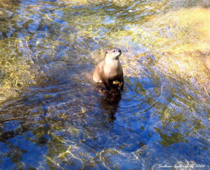 Otter in shallow water, Bend, Oregon 2016